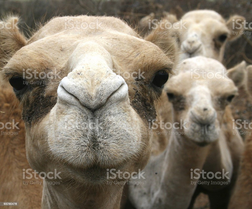 curious group of young camels in kenya royalty-free stock photo