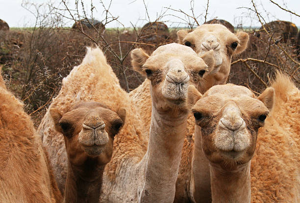 Curious group of young camels, northern Kenya stock photo