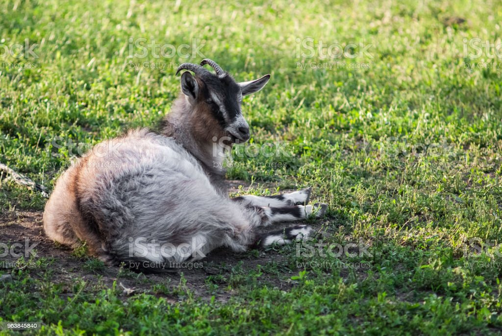 Curious happy goat grazing on a green grassy lawn.Portrait of a funny goat. Farm Animal - Royalty-free Agricultural Field Stock Photo