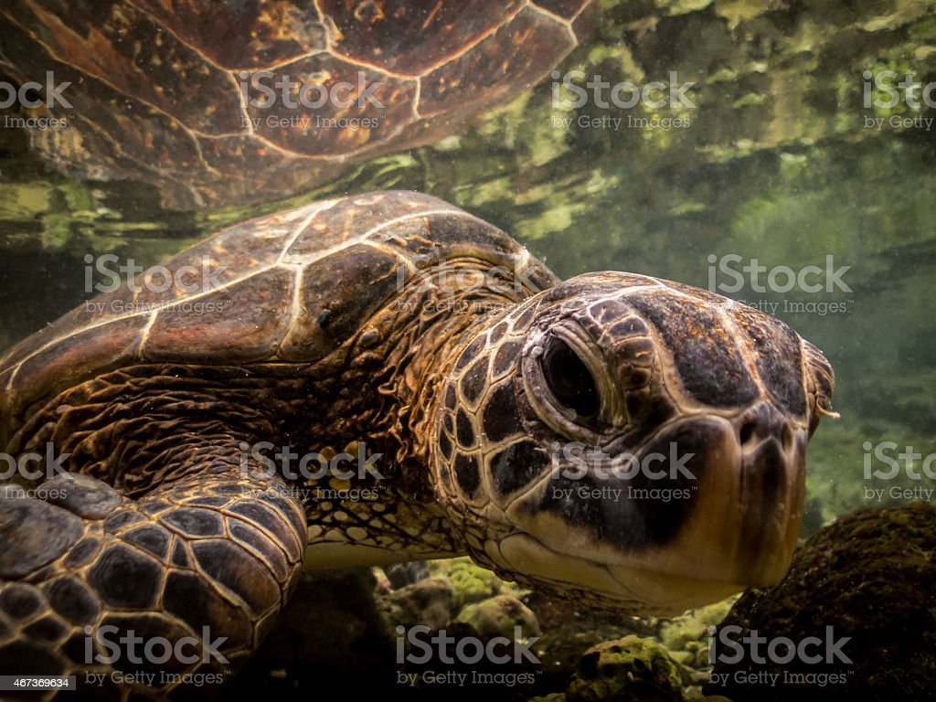 Curious Hawaiian Sea Turtle Looking at You royalty-free stock photo