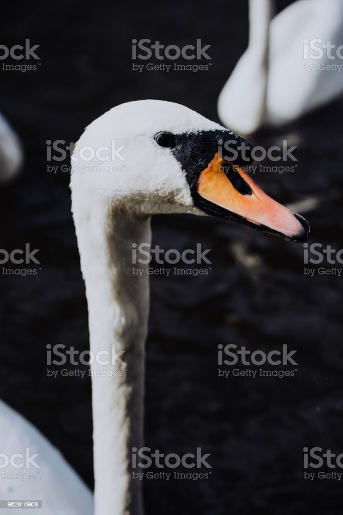 Curious head of a swan coming up behind the pier at Alster Lake in Hamburg, Germany - Foto stock royalty-free di Acqua