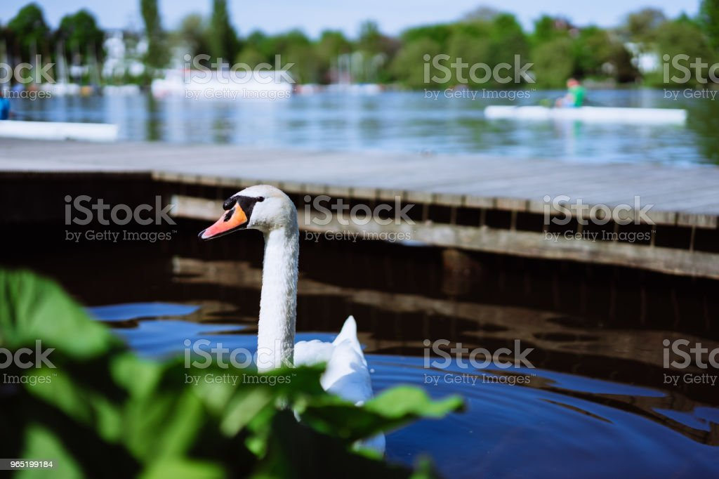 Curious head of a swan coming up behind the plants at Alster Lake in Hamburg, Germany royalty-free stock photo