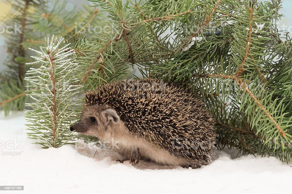 curious hedgehog in the snow hidden under fir branches stock photo