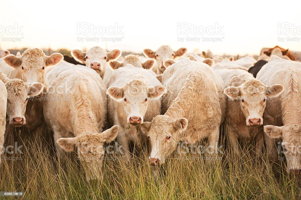 Curious herd of White Charolais Cattle Looking At Camera stock photo