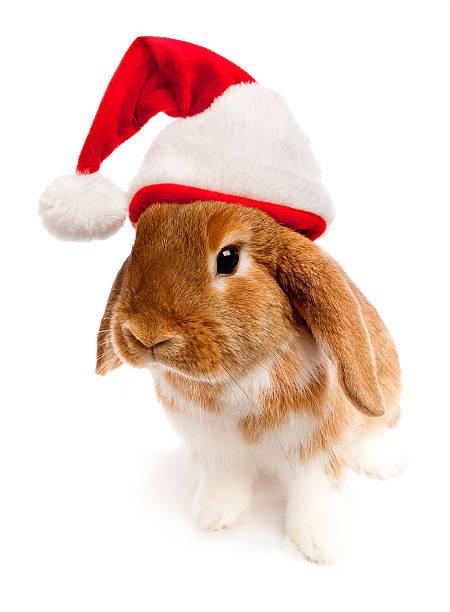 Neugierig Holiday Lop Rabbit – Foto