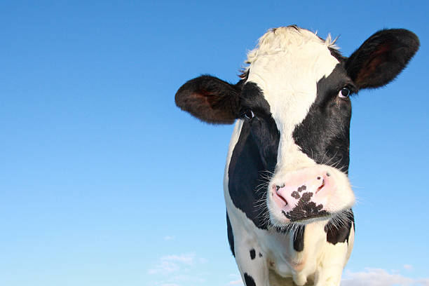 curious holstein cow - cow stock photos and pictures