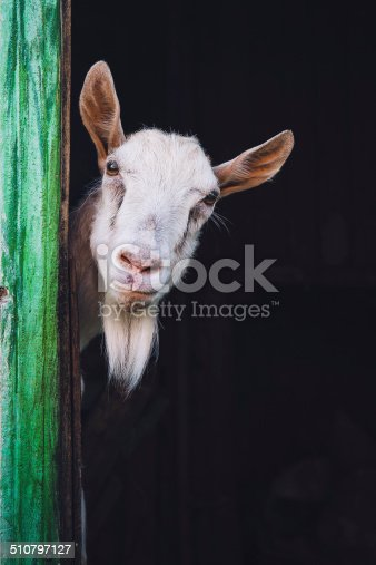 510797127 istock photo curious hornless goat 510797127