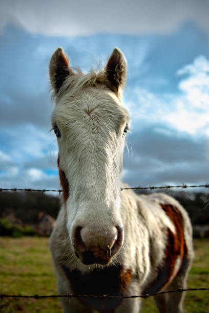 Curious horse looking over the barbed wire fence stock photo