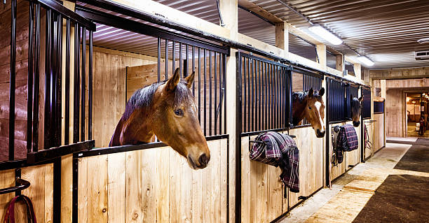 Curious horses in indoors stall at stables Curious horses in indoors stall at stables. Letterbox composition. working animal stock pictures, royalty-free photos & images