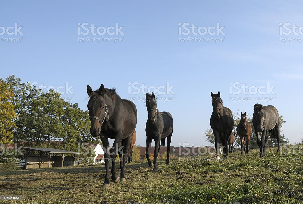 curious horses royalty-free stock photo