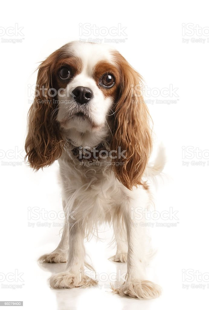 Curious King Charles Cavalier puppy on a white background stock photo