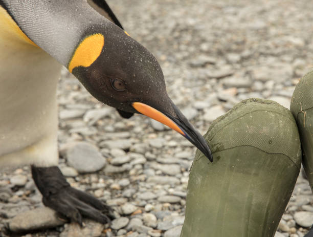 curious king penguin checks out an ecotourist's rubber boot at st andrew's bay, south georgia island - hotel reception стоковые фото и изображения