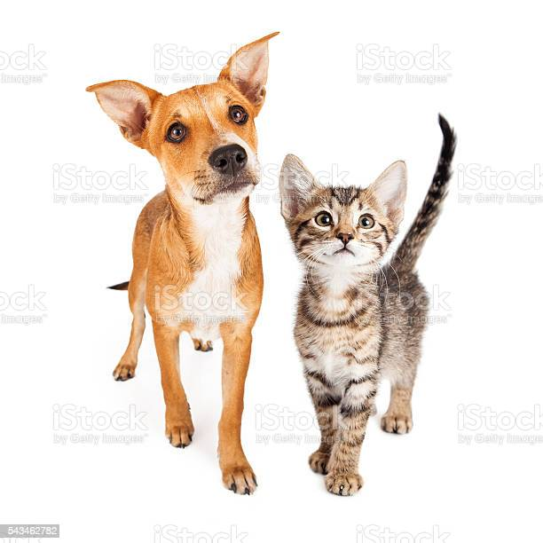 Curious kitten and puppy walking forward picture id543462782?b=1&k=6&m=543462782&s=612x612&h=uva3lg8qkarww1lpqgrsml0p0hrhgi4tjfpini1whzw=