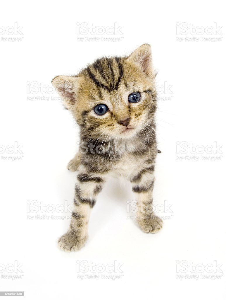 Curious kitten on white background royalty-free stock photo