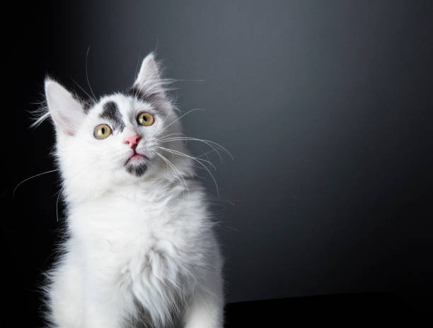 Curious kitten the amanda collection picture id820785268?b=1&k=6&m=820785268&s=612x612&w=0&h=6ubtk4agvwjd9mftqdulx brzc twowu9sjahiof1sy=