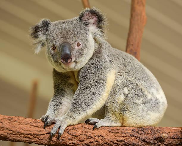 Curious koala looks at the camera stock photo