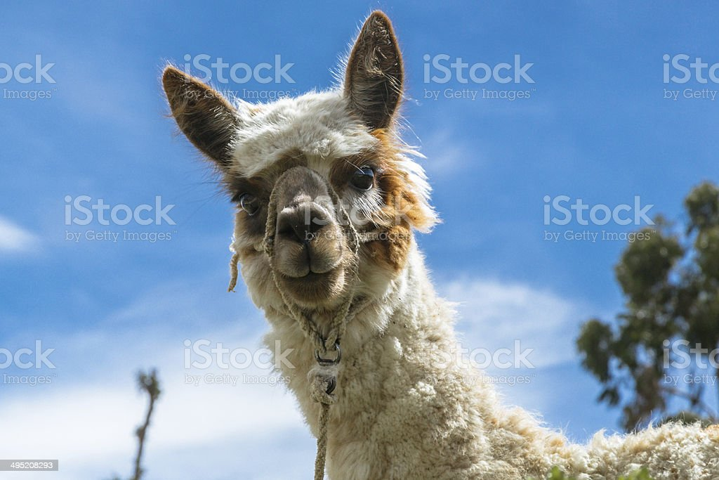 Curious lama looking at you and inviting you to Peru stock photo