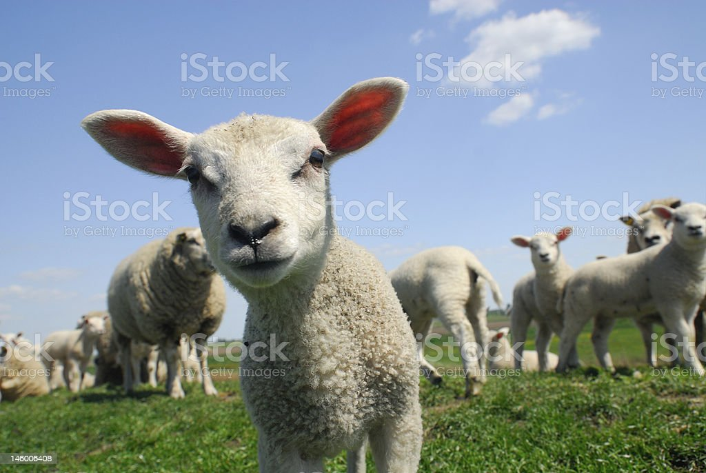 curious lamb in spring stock photo