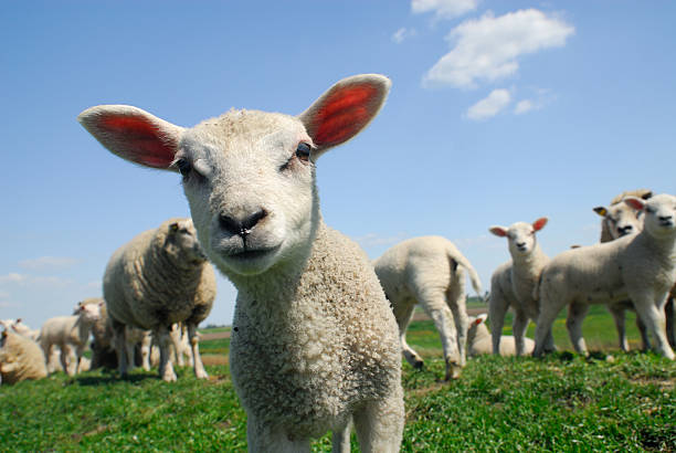 Curieux agneau au printemps - Photo