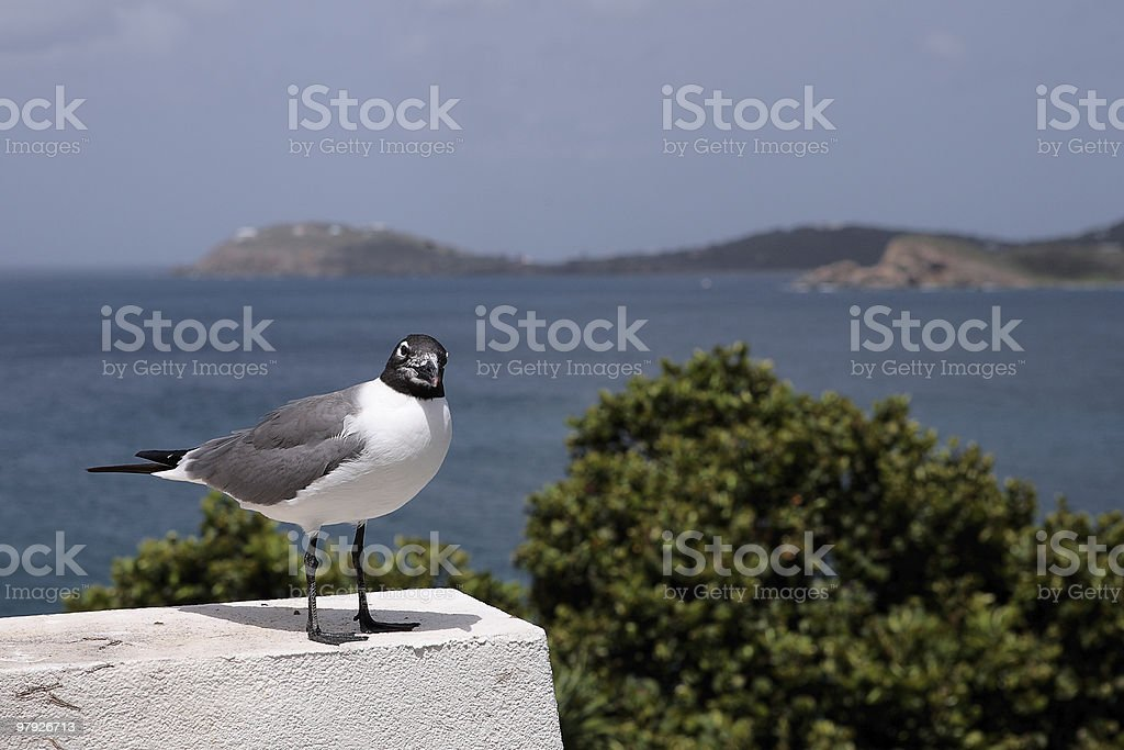 Curious Laughing Gull on a Ledge royalty-free stock photo