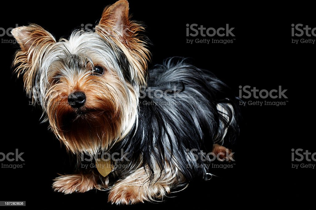 Curious Little Dog royalty-free stock photo