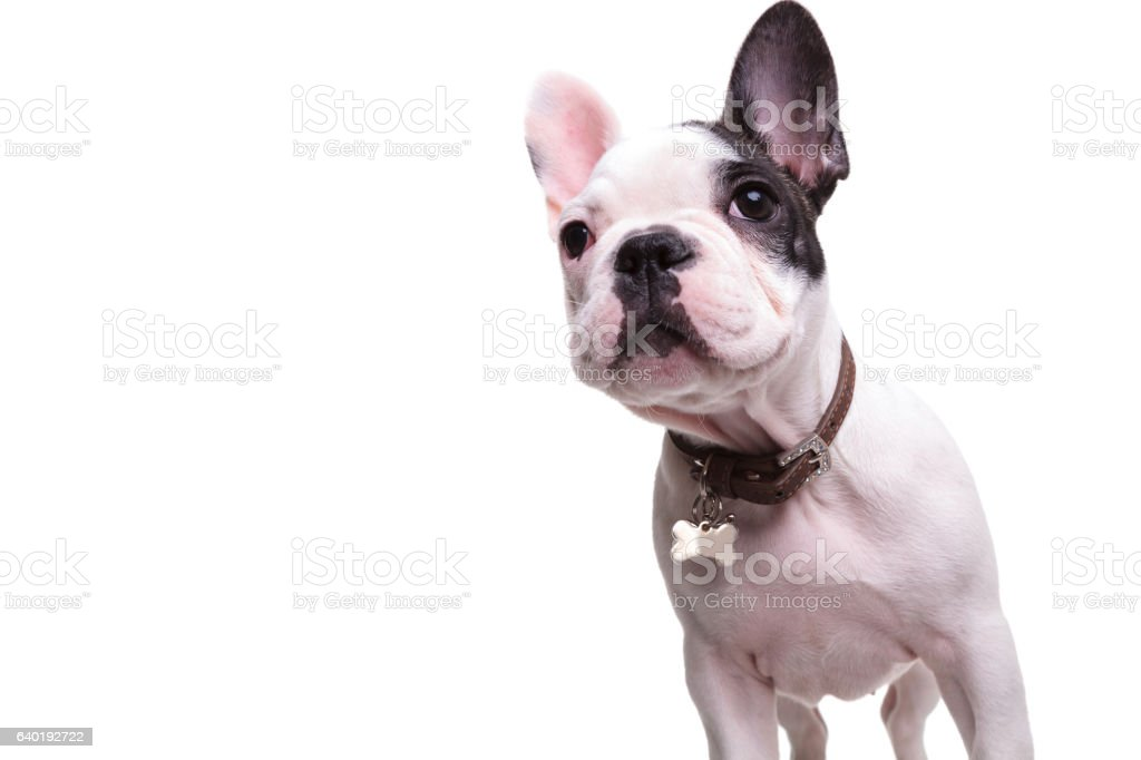 curious little french bulldog puppy dog looking up stock photo