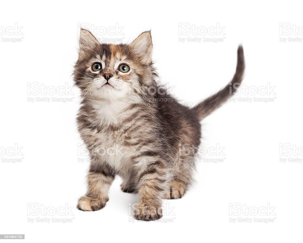Curious Little Tabby Kitten on White stock photo