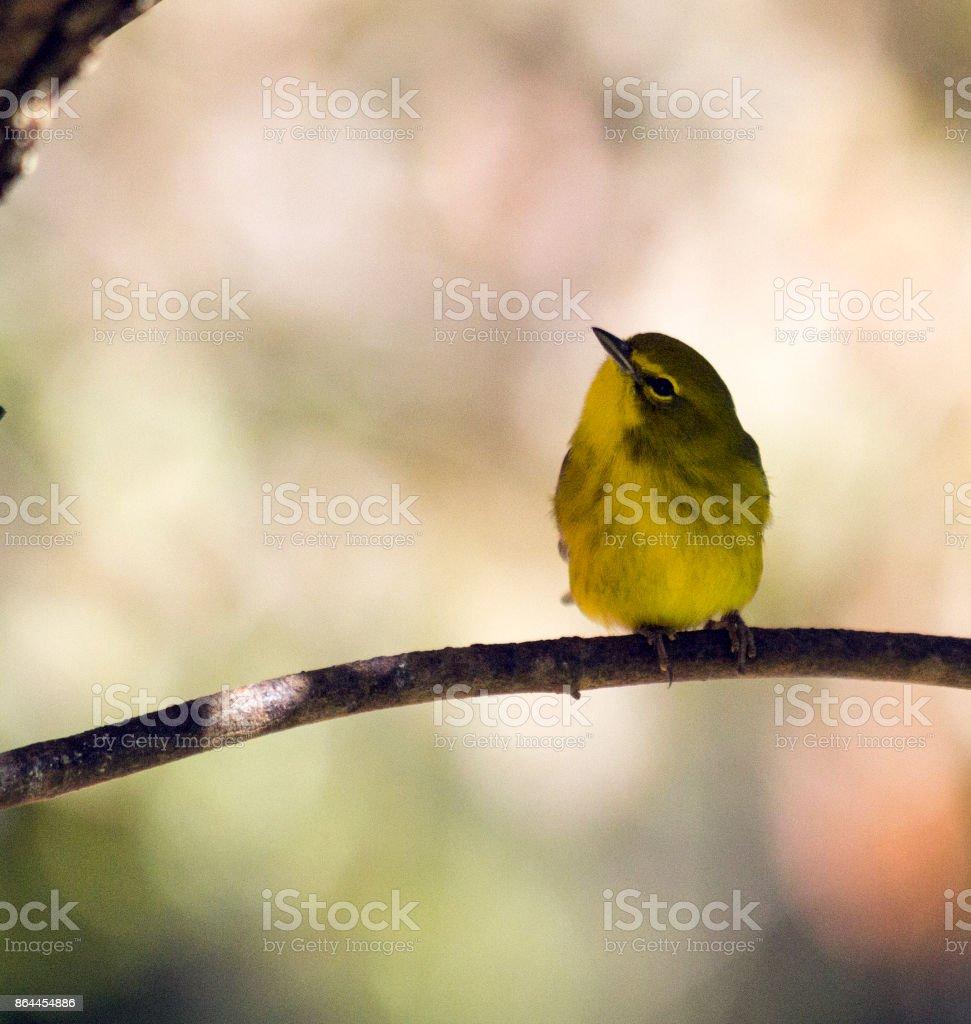 Curious little yellow bird (Pine Warbler) stock photo