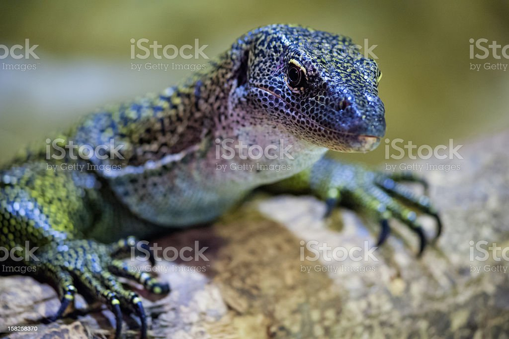 Curious lizard royalty-free stock photo