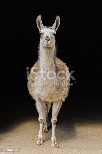 Llama portrait in front of black background