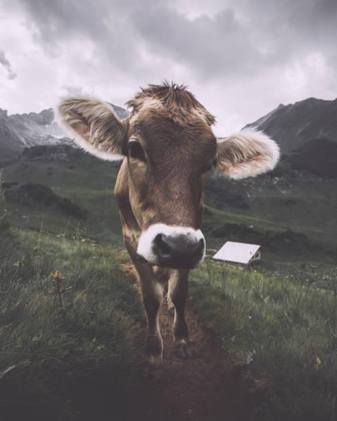 neugierig schauenden kuh in den deutschen bergen - allgäu stock-fotos und bilder