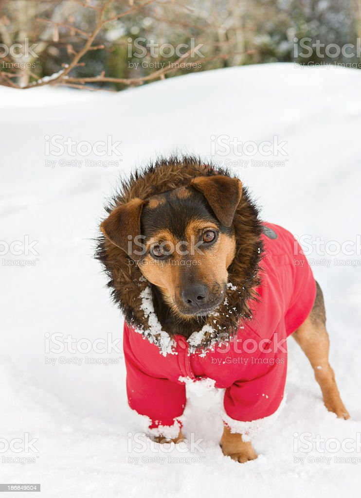 Curious looking dog with a coat royalty-free stock photo