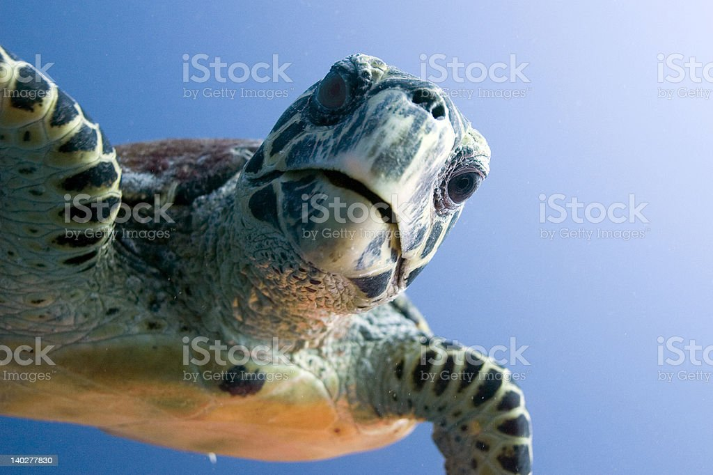 Curious looking turtle stock photo
