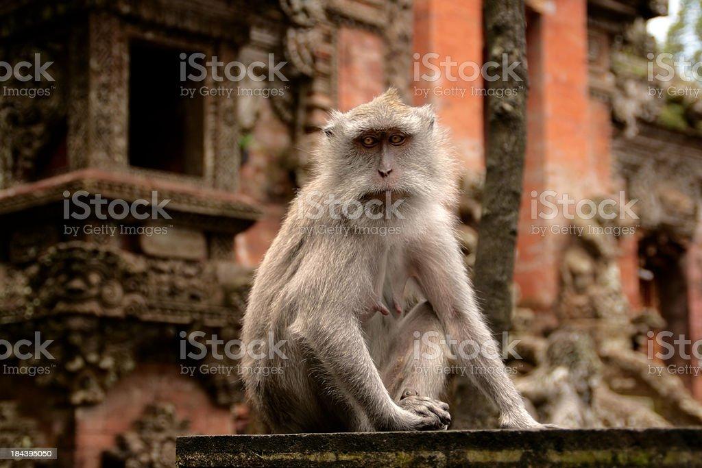 Curious macaque stock photo