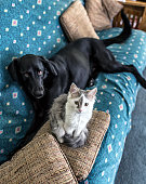 A cute, fluffy, gray and white male (domestic cat) kitten boyfriend and his BFF (Best Friend Forever) mixed breed (mostly black Labrador retriever) female dog girlfriend are posing together on the bed sheet covered sofa after being invited up there for this photo series. Both are looking at the camera - the kitten with open curiosity; the dog with a mix of worry and anxiety. Unlike the oblivious young cat, the much older pooch is well aware - despite having been invited this time - that pets are rarely welcome on the people furniture in this house.