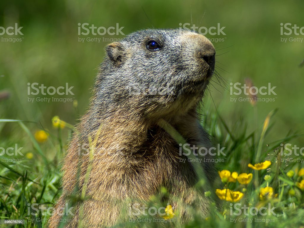 Curious marmot looking out on the Alps - 1 royalty-free stock photo
