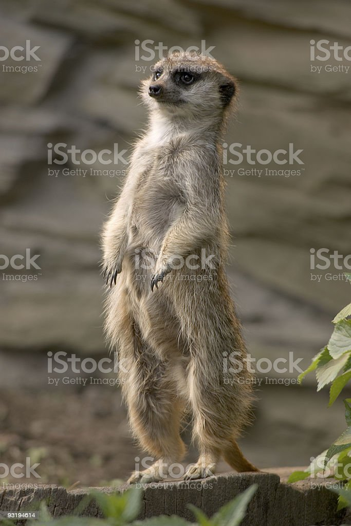 Curious meerkat raised on legs royalty-free stock photo