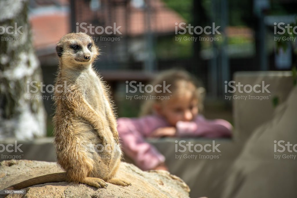 Curious Meerkat sitting on a stone. stock photo