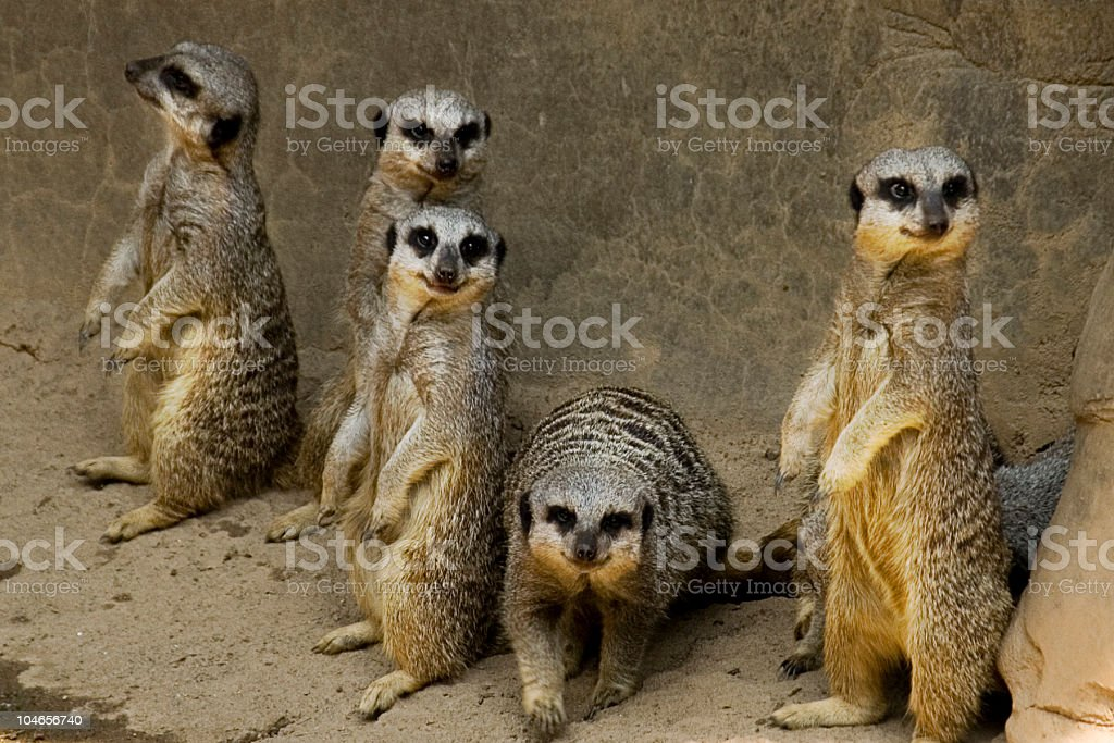 Curious Meerkats royalty-free stock photo