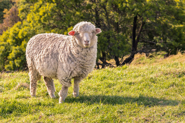 curious merino sheep standing on grass and watching closeup of curious merino sheep standing on grass and watching merino sheep stock pictures, royalty-free photos & images