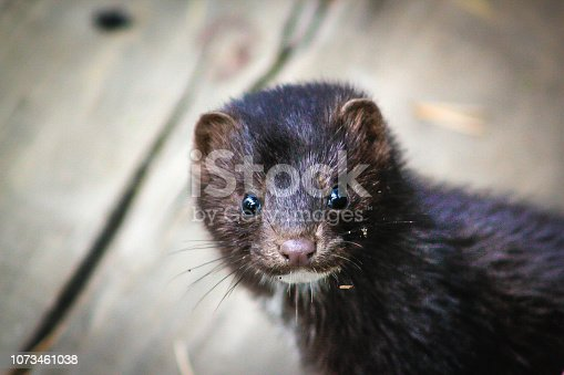curious mink looks straight into the camera lens