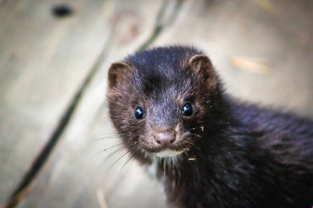 Curious mink curious mink looks straight into the camera lens animal stage stock pictures, royalty-free photos & images