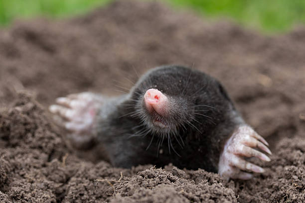 neugieriger Maulwurf neugieriger Maulwurf mole animal stock pictures, royalty-free photos & images