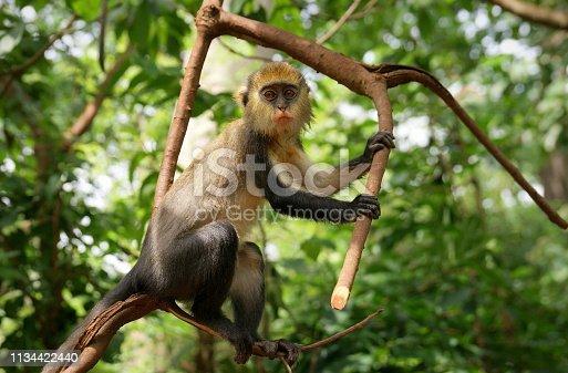 istock Curious mona monkey at Boabeng-Fiema monkey sanctuary, Ghana 1134422440