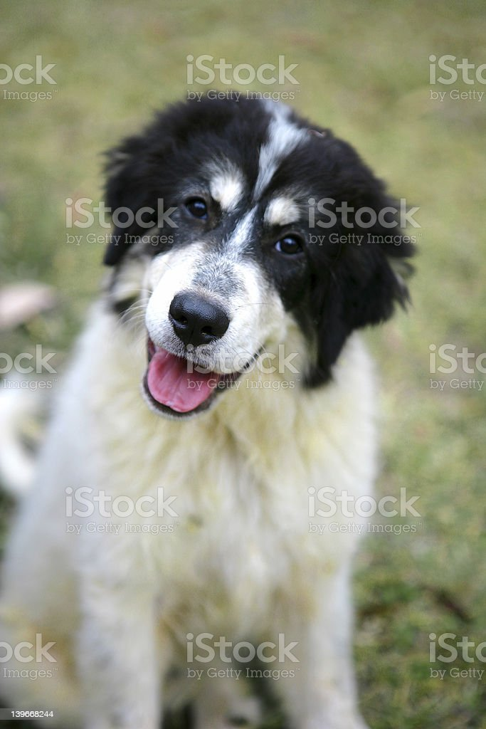 Curious Mountain Dog Pup royalty-free stock photo