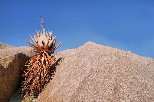 Curious orange cactus growing in a rock in Kubu island