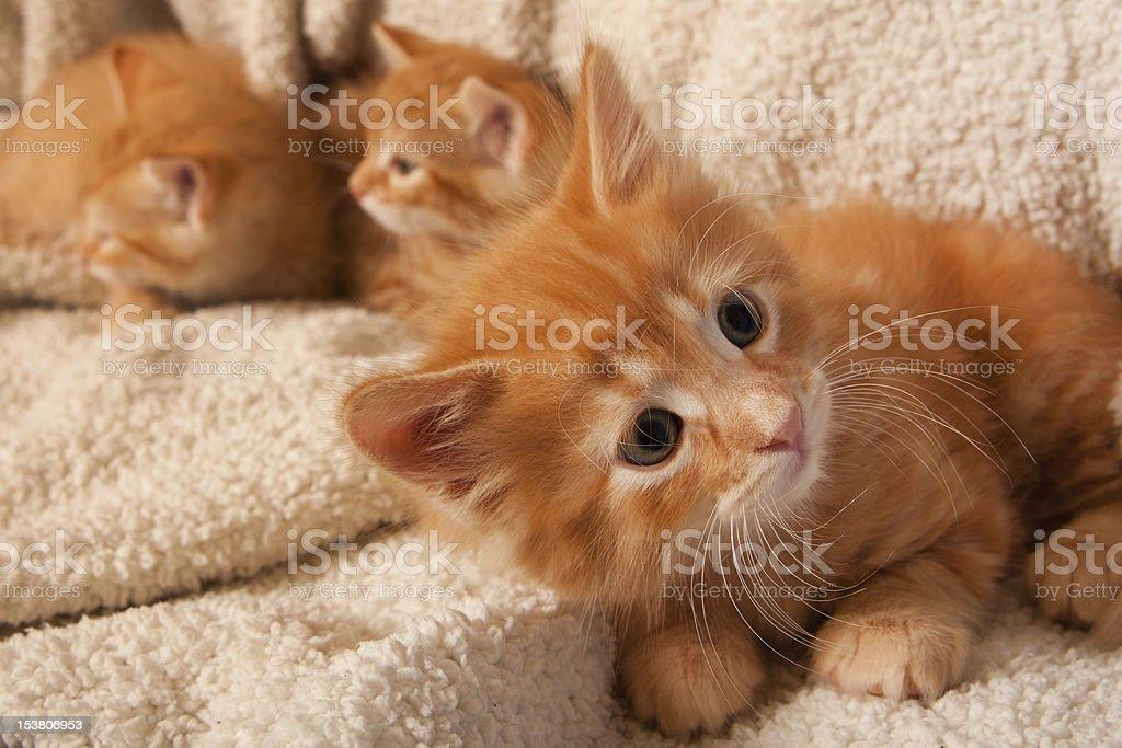 Curious Orange Kittens royalty-free stock photo