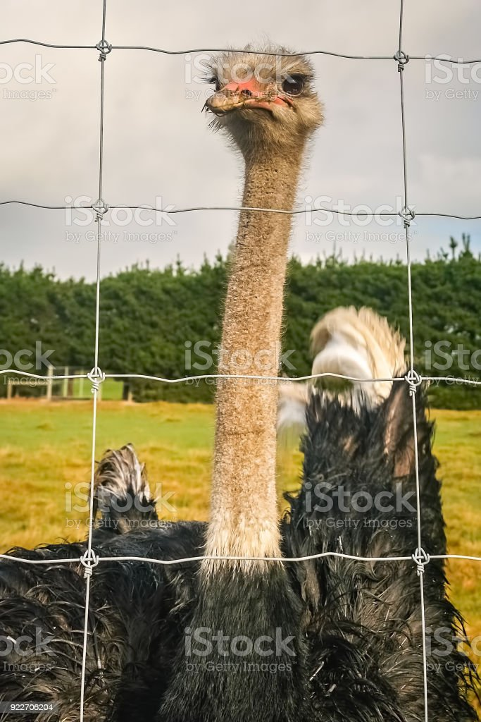 Curious Ostrich behind a fence on a farm stock photo