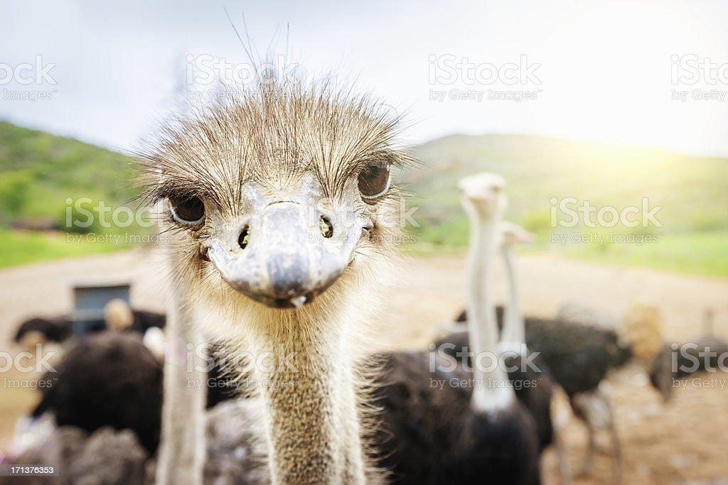 Curioso avestruz de Sudáfrica - foto de stock