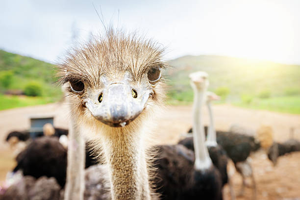 curious ostrich south africa - struisvogel stockfoto's en -beelden